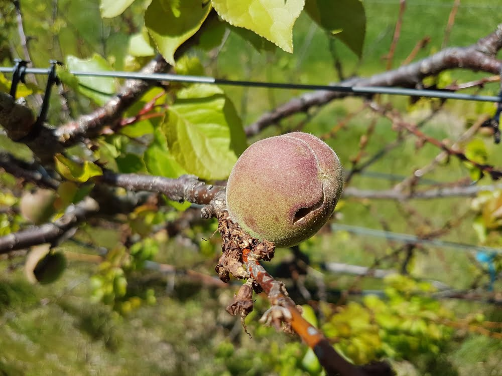 Earlicot apricot tree showing signs of blossom blight and cracking