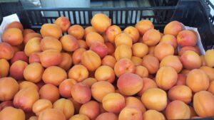 A boxful of ripe Goldrich apricots