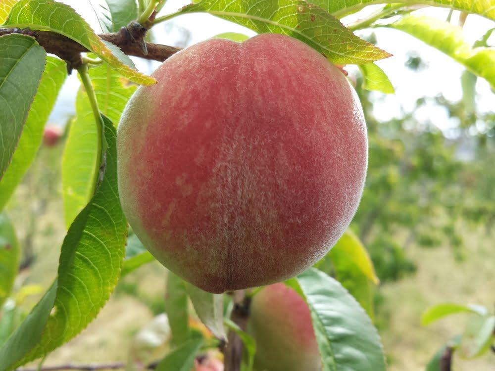 White-flesh Anzac peach, almost ripe