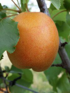 Katy apricot tree - large, sweet fruit