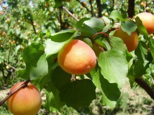 Patterson apricots on the tree