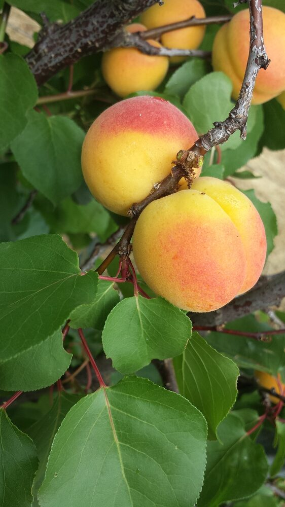Lovely sweet round Bebeco apricots on the tree