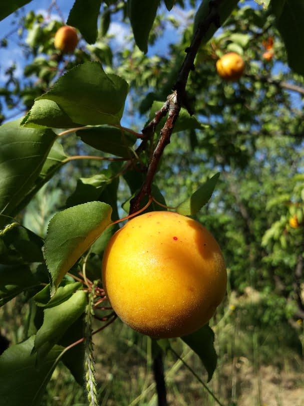 Old fashioned heritage Moorpark apricot with a freckle on its skin