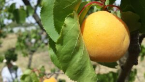 Perfect Trevatt apricot on the tree