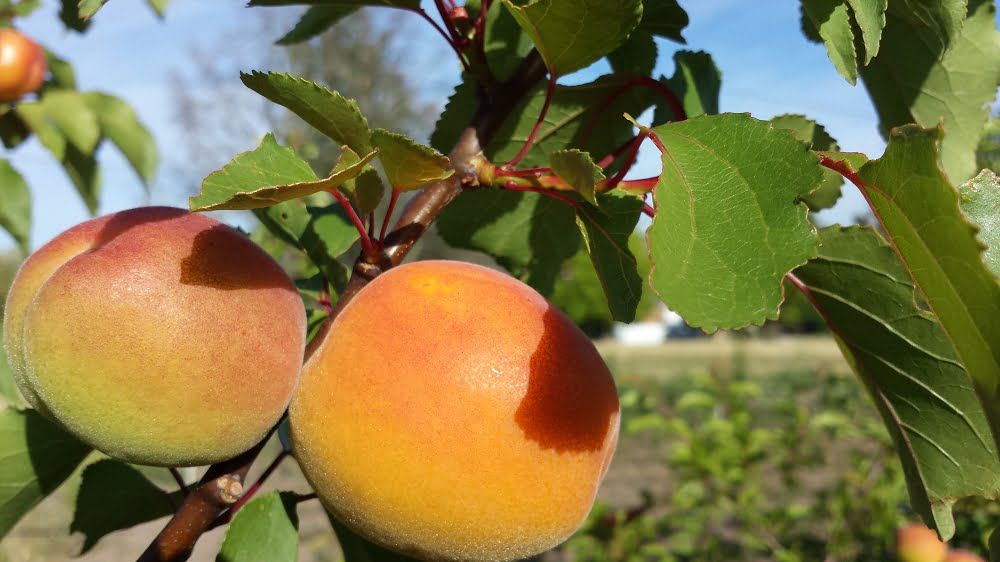 Poppicot apricots - notice the difference in size between the ripe apricot on the right and the green one on the left