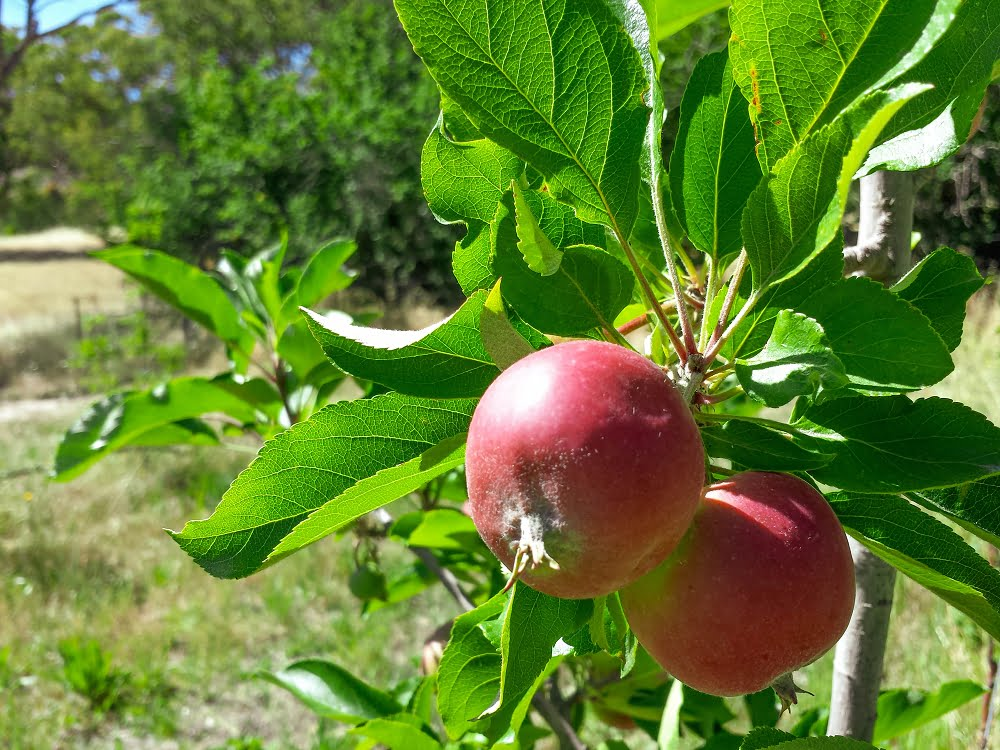 Young gala apples on the tree, with the bush beyond