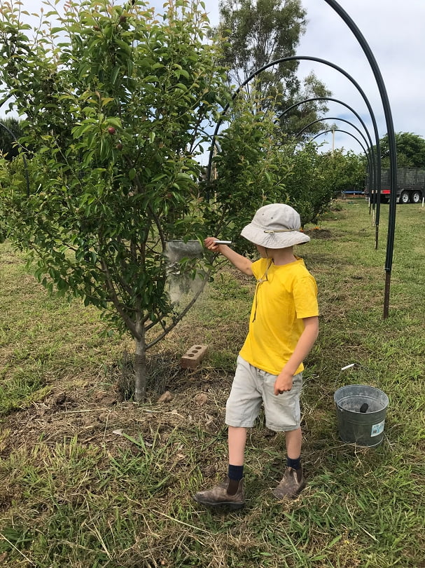 A junior fruit grower demonstrating perfect pear and cherry slug dusting technique