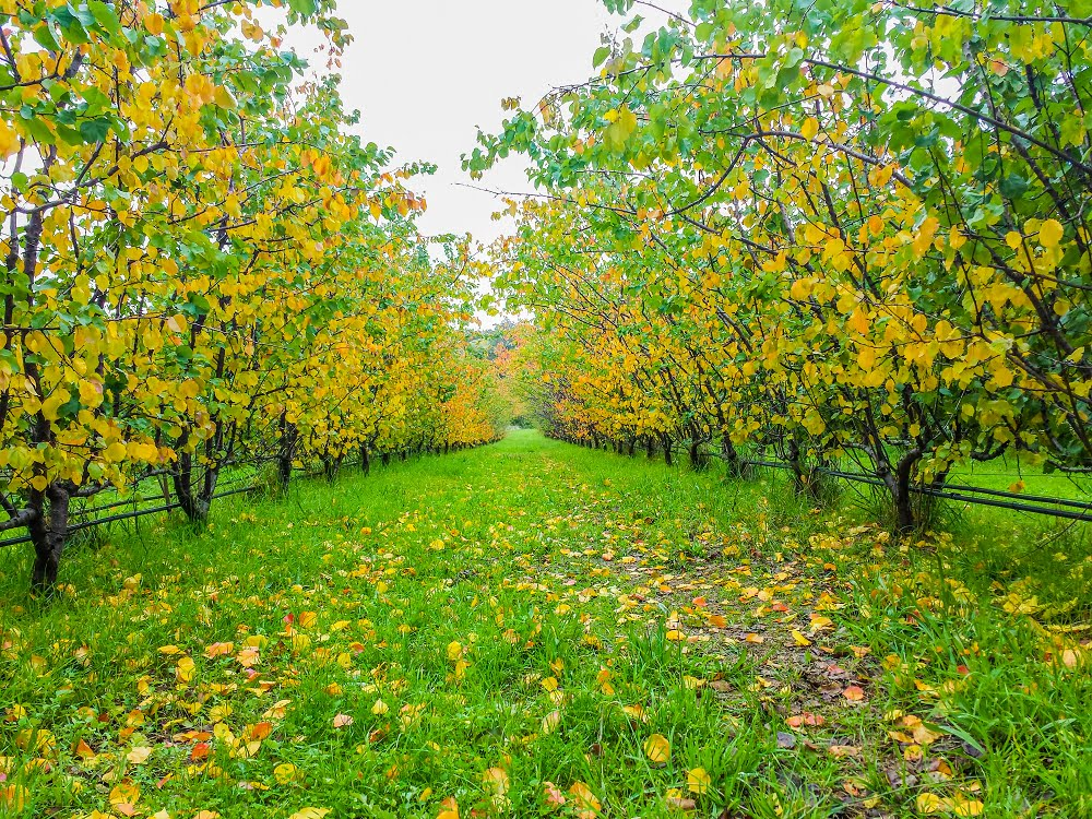 Apricot trees in the orchard at the end of summer