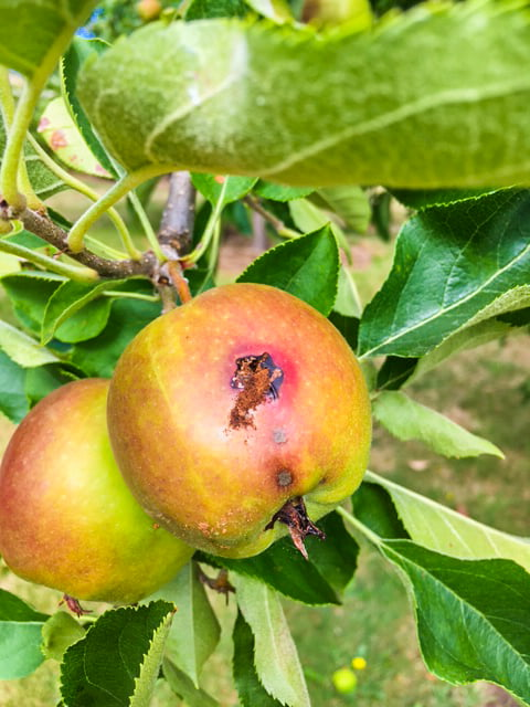 """An apple infected with Codling Moth, showing the classic """"frass"""" at the entry hole where the larvae has burrowed into the fruit"""
