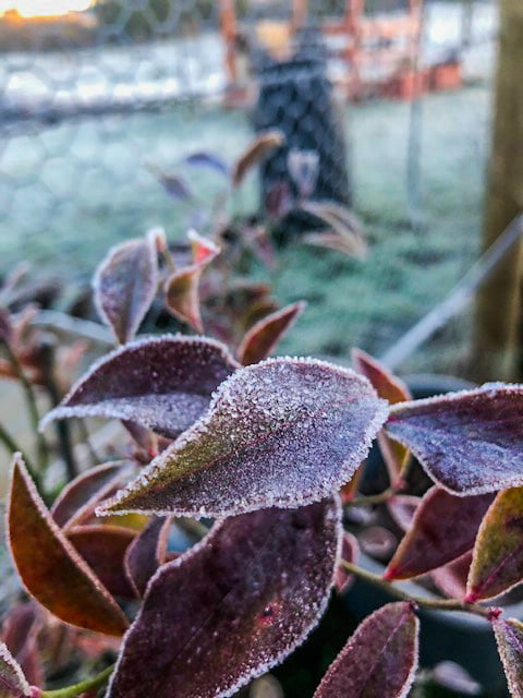 A badly-timed frost can damage the flowers on your tree