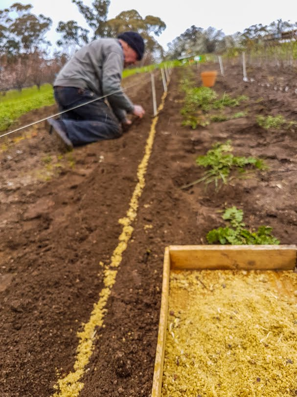 Planting apple seeds (mixed with sand) to grow apple rootstocks