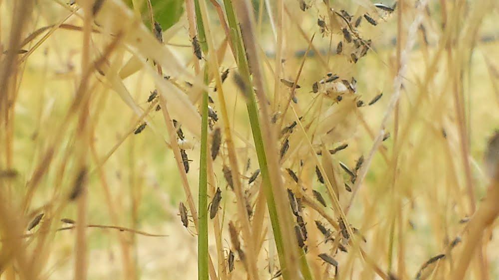 Rutherglen bugs in the grass