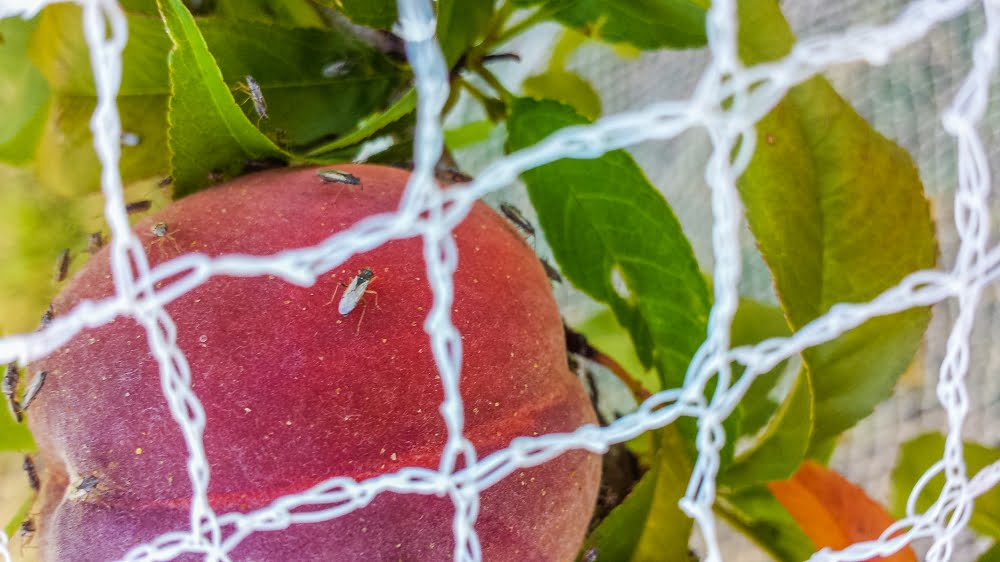 Netting protects fruit from birds but not from Rutherglen bugs