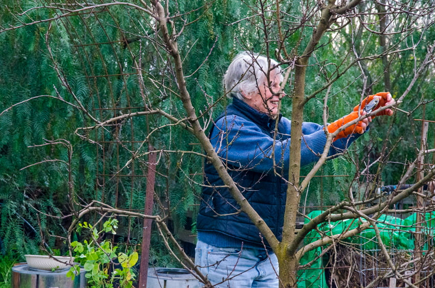 Using principles instead of rules makes pruning fruit trees much easier. Photo credit: Janet Barker