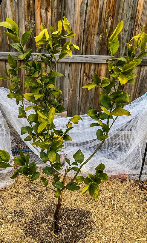 A lemon tree demonstrating the classic curly leaves and yellowing that indicate a nutritional problem