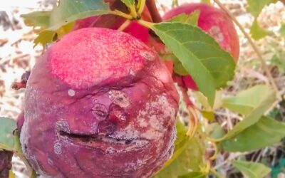 Have you noticed any brown rot in your stone fruit this summer?