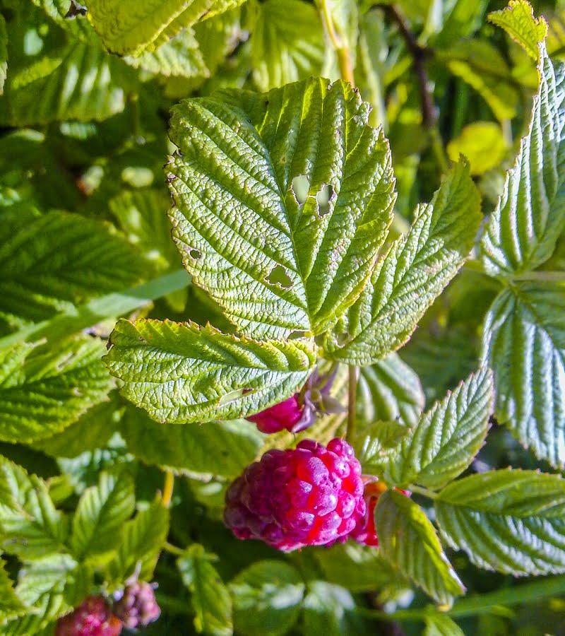 Bogong raspberries