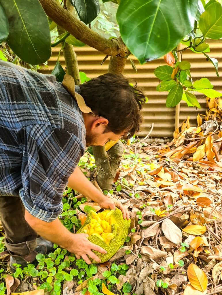 Paul Daley splitting open a ripe jackfruit for us to eat