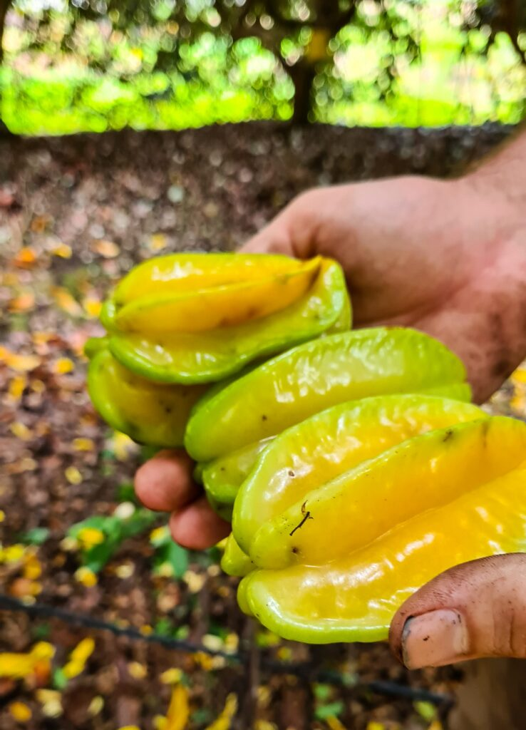 Carambola starfruit at Daleys nursery