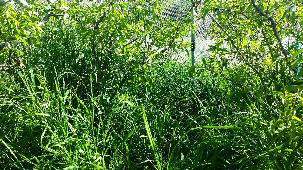Long grass under the trees can make it hard to find any almonds that have fallen to the ground