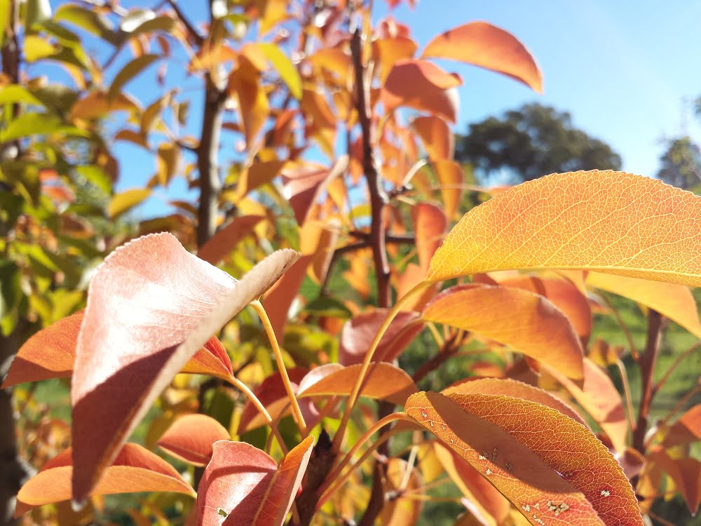 The beautiful yellows, oranges and browns of autumn starting to appear in pear leaves
