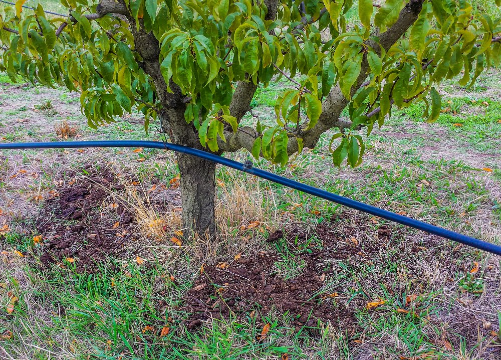 It's never the wrong time to apply compost under your fruit trees