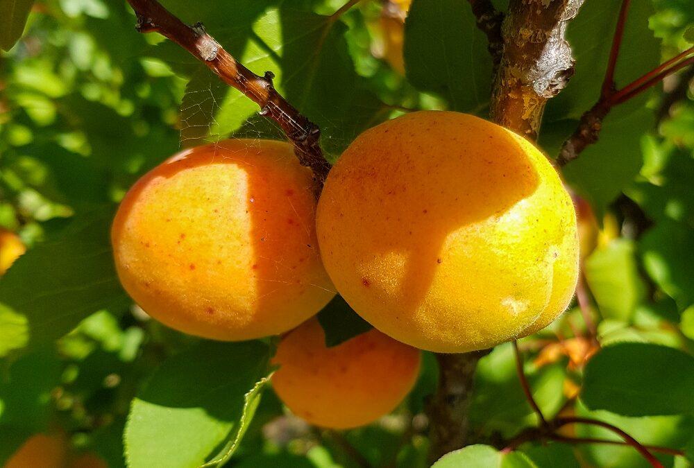 pair of tilton apricots on fruit tree