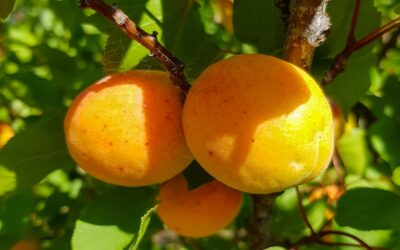 Fruit tree care: the ultimate guide in 10 steps