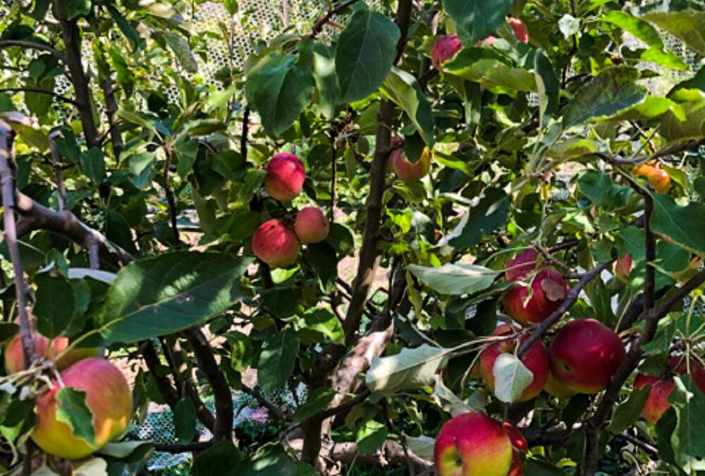 Can you grow your own multigraft fruit tree?