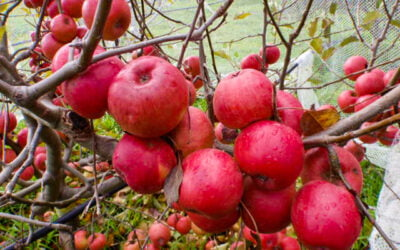 How to look after late-season fruit trees