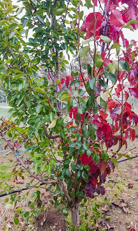 A multigraft pear tree growing two varieties of pear