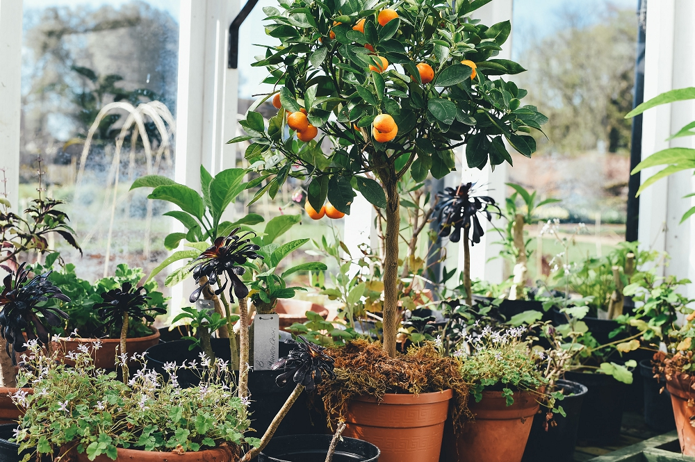 Orange tree with fruit in a pot
