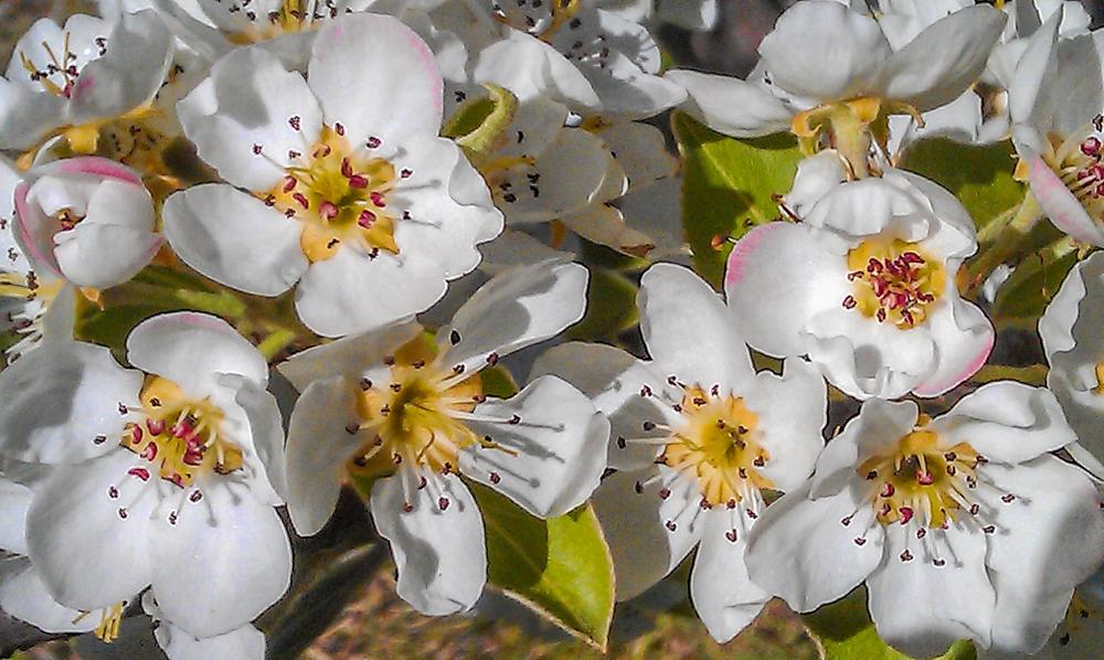 Gorgeous corella pear blossom