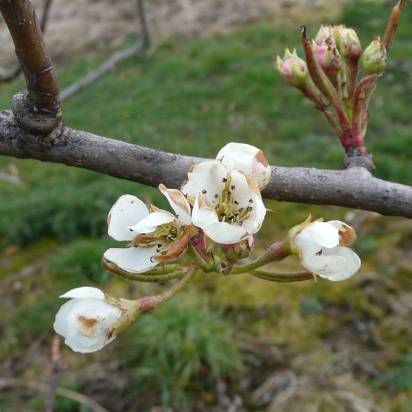 Mild frost damage on some pear flowers