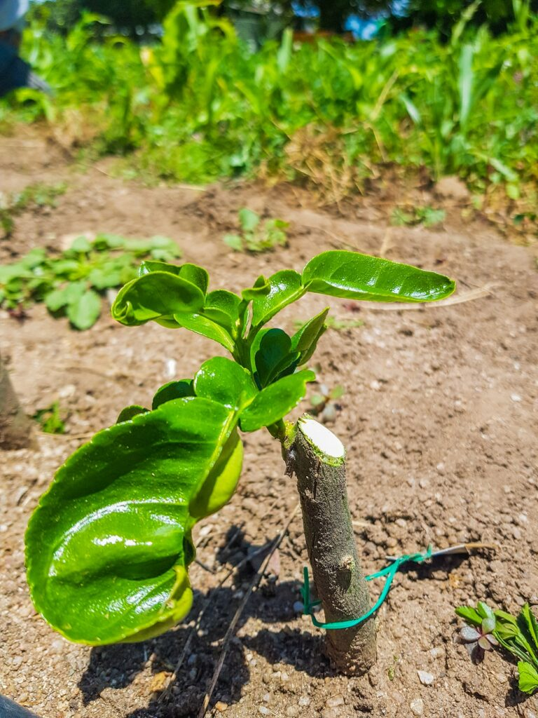A Harcourt-grown lime tree - finally!