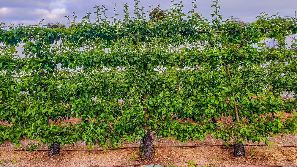 A well established espalier apple tree trained on a tall and sturdy trellis.