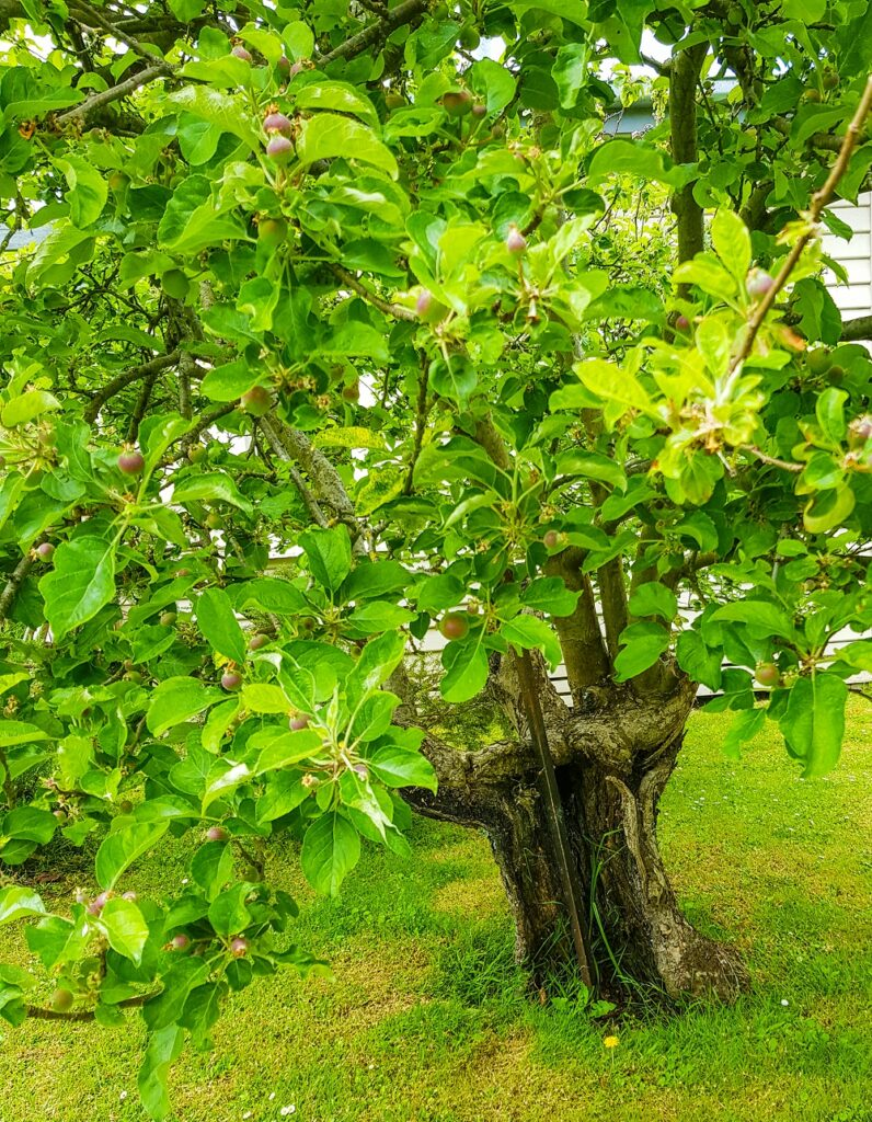 A beautiful and very old apple tree - still very fruitful despite an extremely damaged trunk