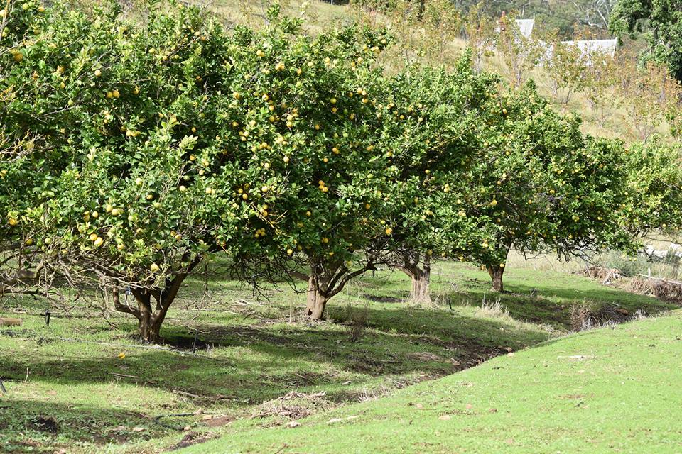 Phil's lemon trees with the lower canopy pruned by sheep